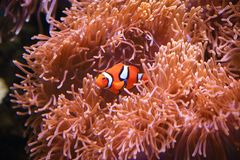 Clownfish or anemonefish on sea anemone background. Clownfish are omnivorous and can feed on undigested food from their host anemones, and the fecal matter from Stock Photo