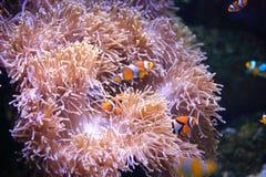 Clownfish or anemonefish on sea anemone Stock Image