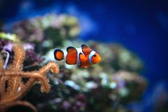 Clownfish or anemonefish on sea anemone. Clownfish are native to warmer waters of the Indian and Pacific oceans, including the Great Barrier Reef and the Red Sea royalty free stock photo