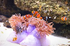 Clownfish or anemonefish on sea anemone. Clownfish are native to warmer waters of the Indian and Pacific oceans, including the Great Barrier Reef and the Red Sea stock photo