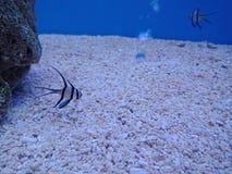 Clownfish, Anemonefish 2. Sebae clownfish, Sebae anemonefishมClownfish, Anemonefish 1 royalty free stock images