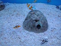 Clownfish, Anemonefish 1. Sebae clownfish, Sebae anemonefishมClownfish, Anemonefish 1 royalty free stock photography