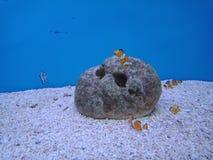 Clownfish, Anemonefish 3. Sebae clownfish, Sebae anemonefishมClownfish, Anemonefish 1 stock photography