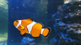 Clownfish or anemonefish stock footage video. Clownfish or anemonefish in beautifully decorated Marine Aquarium stock footage video stock video footage