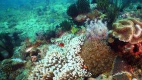 Clownfish Anemonefish w aktynach zdjęcia stock