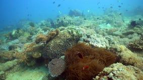 Clownfish Anemonefish w aktynach zdjęcia royalty free
