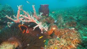 Clownfish Anemonefish w aktynach zdjęcie royalty free