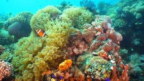 Clownfish Anemonefish w aktynach fotografia stock