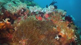Clownfish Anemonefish w aktynach zdjęcie stock