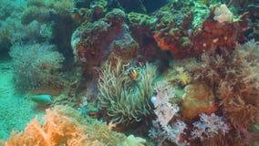 Clownfish Anemonefish w aktynach obraz royalty free