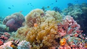 Clownfish Anemonefish w aktynach fotografia royalty free