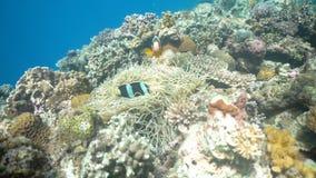 Clownfish Anemonefish w anemonie zbiory wideo