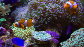 Clownfish and anemones stock video