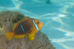 Clownfish in Anemoon royalty-vrije stock afbeelding