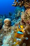 Clownfish in anemoon Royalty-vrije Stock Afbeeldingen