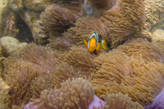 Clownfish in Anemoon stock fotografie