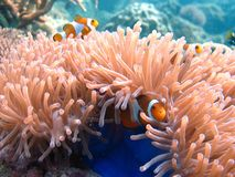 Clownfish in Anemoon Stock Foto
