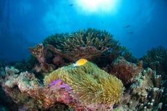 Clownfish, anemoon en zon Stock Foto's