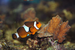 Clownfish in aquarium Stock Afbeelding