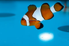 Clownfish in Aquarium Stock Photography