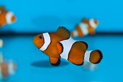 Clownfish in Aquarium Stock Photo