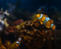 Clownfish in aquarium Stock Image