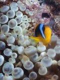 Clownfish arancione Fotografia Stock Libera da Diritti