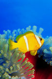 Clownfish au-dessus de l'anemoni 0002 Photo libre de droits