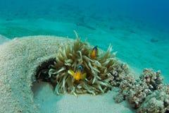 Clownfish in ausgegebenem Autoreifen Stockfotos