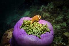 Clownfish avec l'anémone Espèce marine Image libre de droits