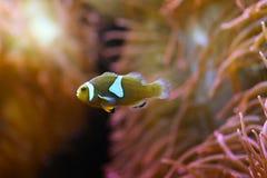Clownfish in barriera corallina Fotografie Stock