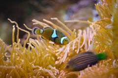 Clownfish in barriera corallina Immagine Stock Libera da Diritti