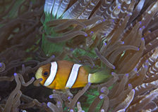 Clownfish in beaded anemone Royalty Free Stock Photo