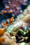 Clownfish a beautiful closeup Stock Images