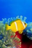 Clownfish über anemoni 0002 Lizenzfreies Stockfoto