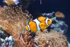 Clownfish bianco ed arancio Fotografie Stock Libere da Diritti