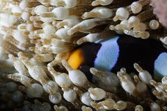 Clownfish, blue and black striped   anemone fish, hiding in sea anemone tentacles. Clownfish, blue and black striped   anemone fish, hiding in sea anemone Royalty Free Stock Image