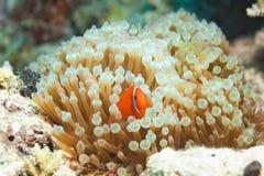 Clownfish bonito nos anemones imagens de stock royalty free