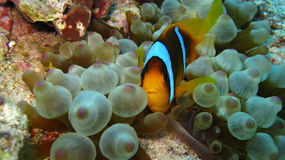 Clownfish in bubble anemone Stock Image
