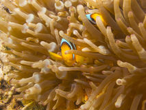Clownfish chuje w anemonie fotografia stock