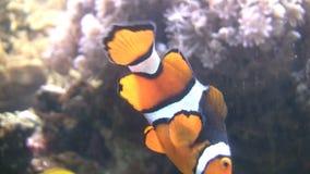 Clownfish closeup stock video footage
