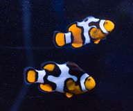 Clownfish closeup. Two clownfish (Amphiprion percula) in closeup swimming in profile isolated against a dark background royalty free stock photography