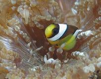 Clownfish congregado Imagen de archivo