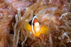 Clownfish congregado Foto de archivo