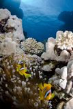 Clownfish on a coral reef Stock Images