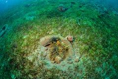 Clownfish Stock Image