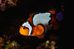 Clownfish Cruising the Reef at Night stock photography