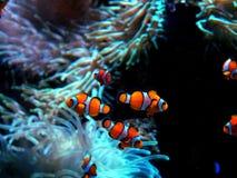 Clownfish d'ocellaris d'Amphiprion dans l'aquarium marin Image libre de droits