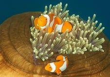 Clownfish d'Ocellaris et crevette commensale de tosa sur l'anémone de Bali photos stock