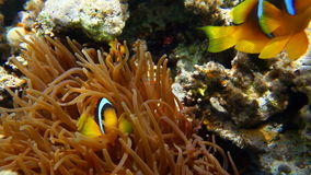 Clownfish dal Mar Rosso stock footage